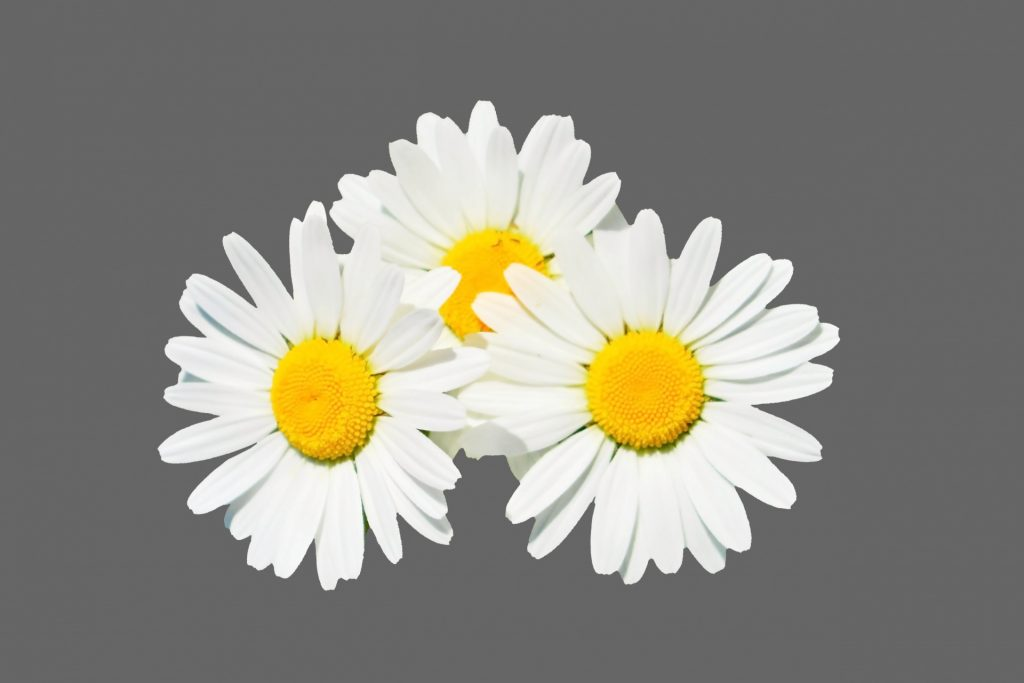 chamomile for sleep apnea