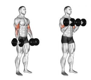 dumbbell curls exercise